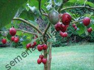 Томатное дерево (Cyphomandra betacea) 10 семян