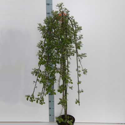 Комнатное растение - цветы Саликс