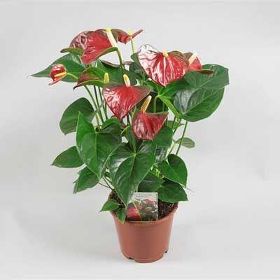 Комнатное растение - цветы Антуриум Беби