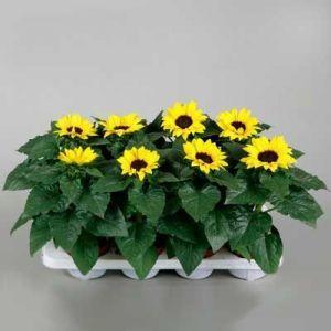 Комнатные растения - цветы Гелиантус