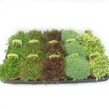 Комнатные растения - цветы Седум