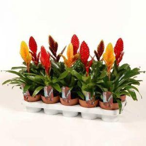 Комнатные растения - цветы Врезия