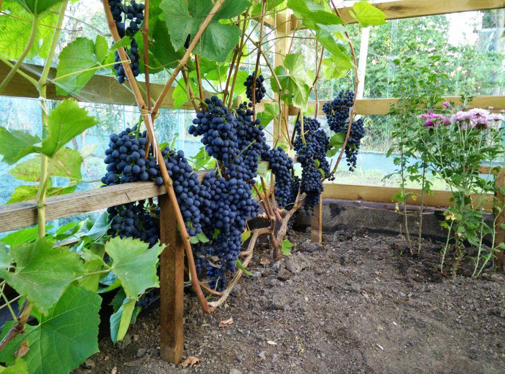 Виноград память домбковской как сажать
