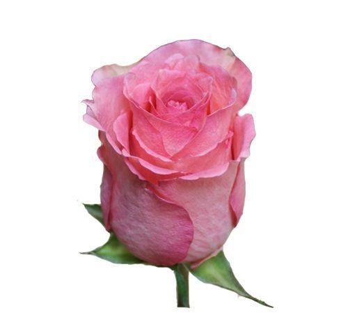 "Роза ""Аспирант"" 60 см."