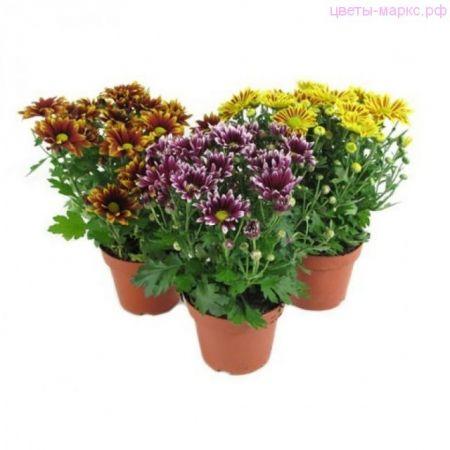 Хризантема кустовая микс 6