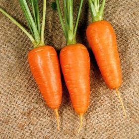 Морковь Шантане 2461 (1943 г.)