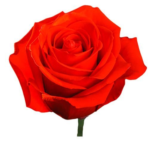 """Роза """"Нина"""" 80 см."""