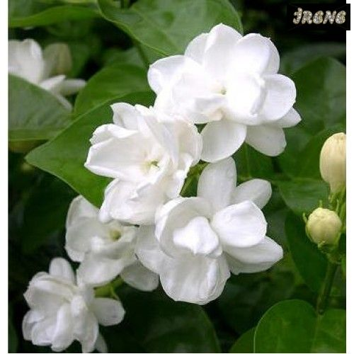 "ЖАСМИН САМБАК-JASMINUM SAMBAC ""GRAND DUKE OF TUSCANY"" - ARABISCHER JASMIN"