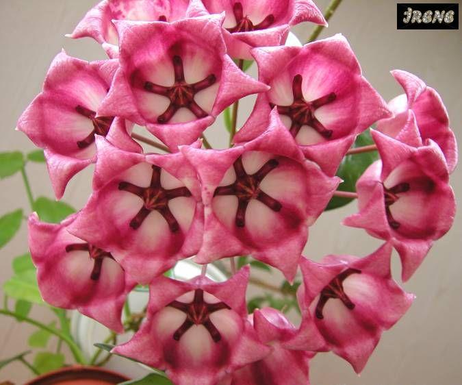 Hoya Archboldiana Pink Хойя aрчболдиана