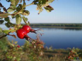 Шиповник. Сушеные ягоды (100 гр.)