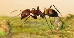 Camponotus nicobarensis