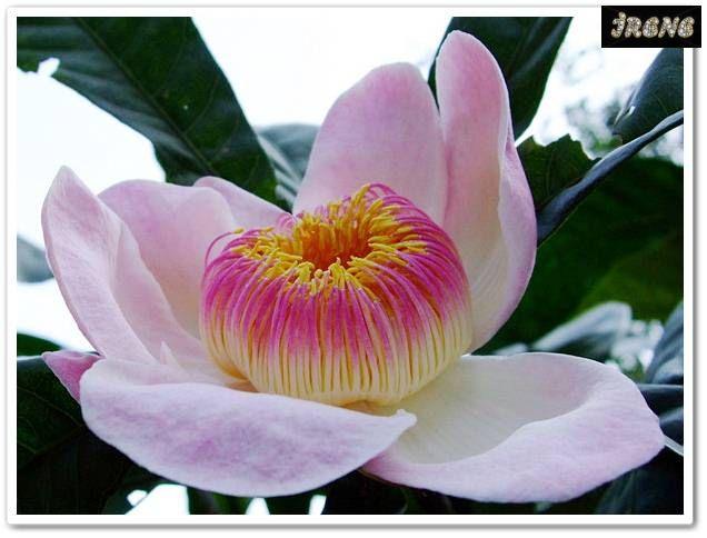 Gustavia gracillima (Лотосовое дерево) или Густавия узколистная