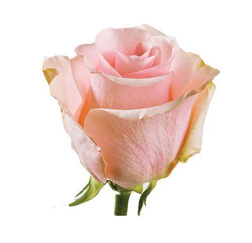 """Роза """"Сеньорита"""" 50 см."""
