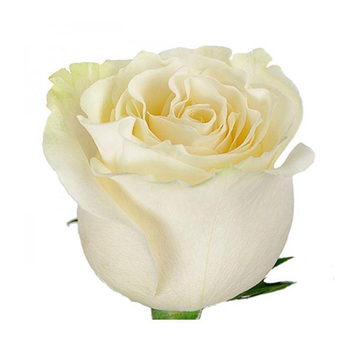 """Роза """"Мондиаль""""  80 см."""