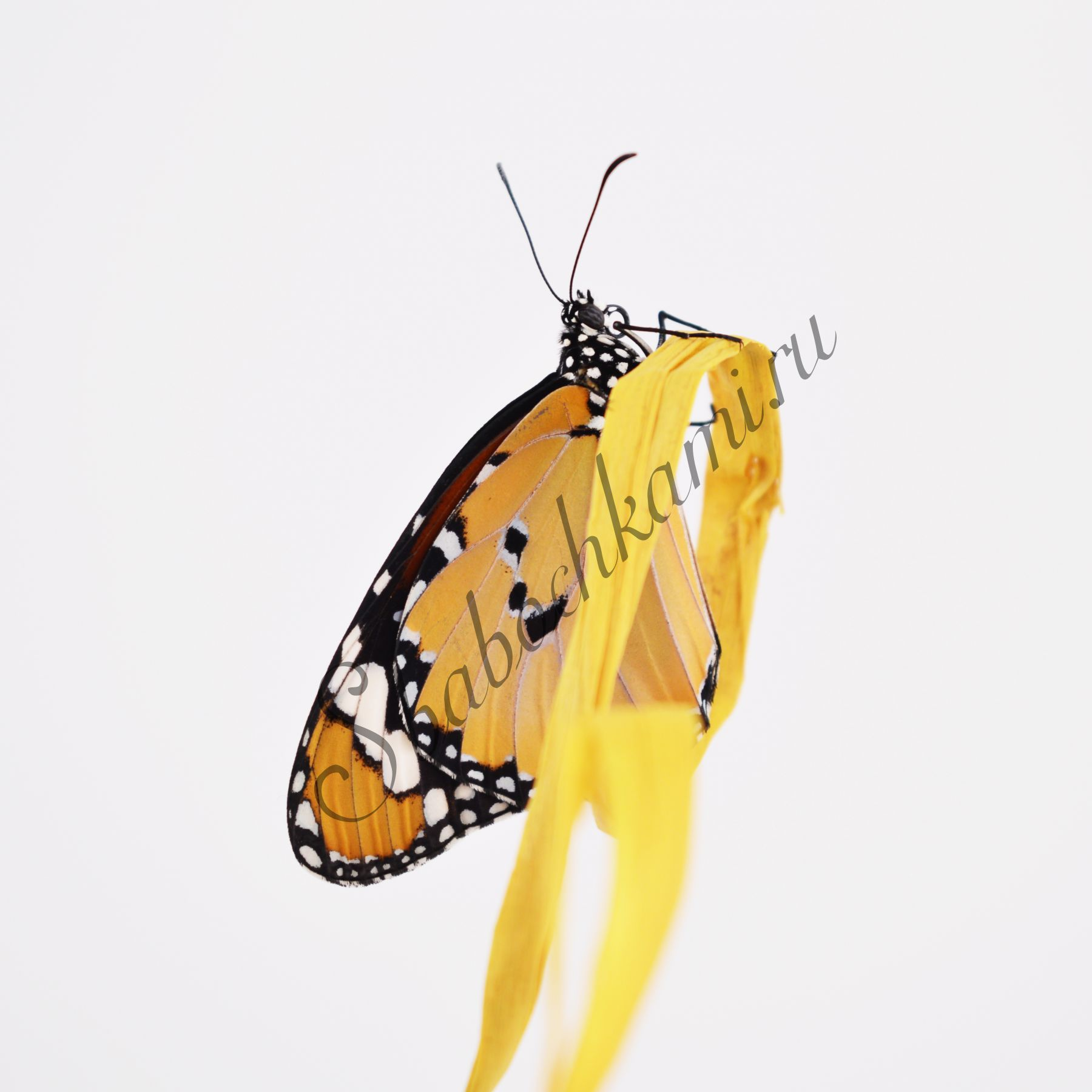 Живой подарок бабочки