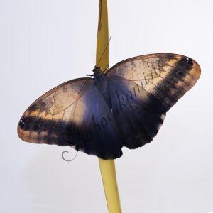 Калиго Мемнон - купить живых бабочек, салют из бабочек в подарок