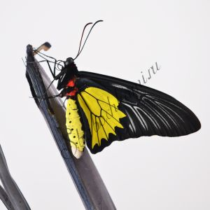 Золотая Птицекрылка - купить живых бабочек в Москве