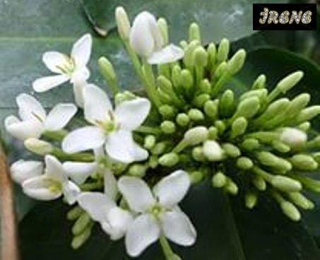 Ixora Finlaysoniana variegata