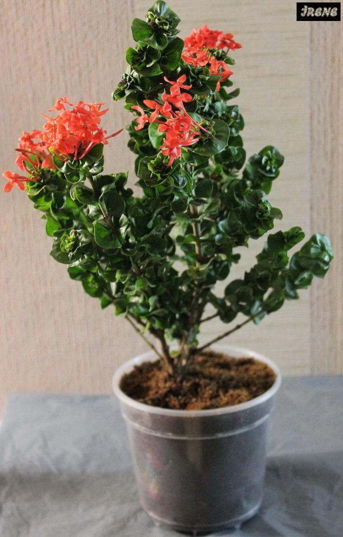 ❃ Ixora Hindu Rope orange flower ❃