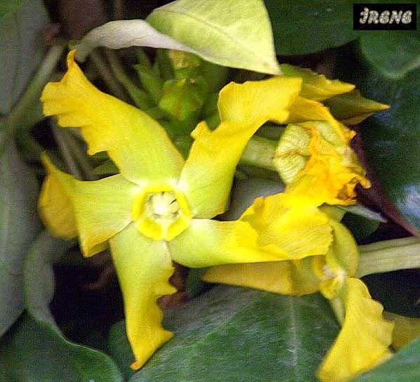 Prestonia mollis, Престония Моллис
