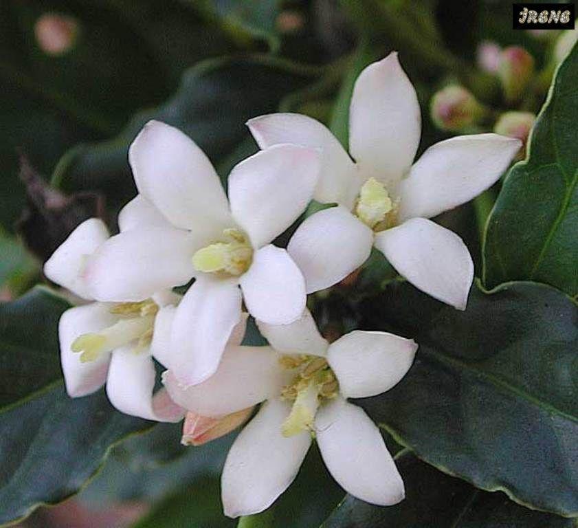 Gardenia citriodora