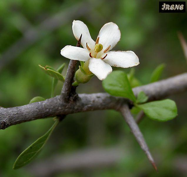 Catunaregam taylori (Randia vestita)