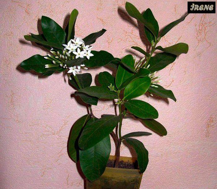 Акокантера жильчатая (Acokanthera venenanta)