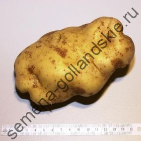 """Картофель """"Устойчивый к Фитофторозу"""" (Late Blight Tolerant) 10 семян"""