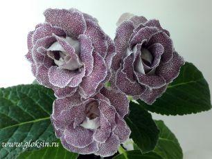 ЕН-Гавайская Роза