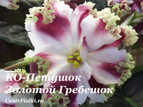 КО-Петушок Золотой Гребешок (О.Кособокова) НОВИНКА
