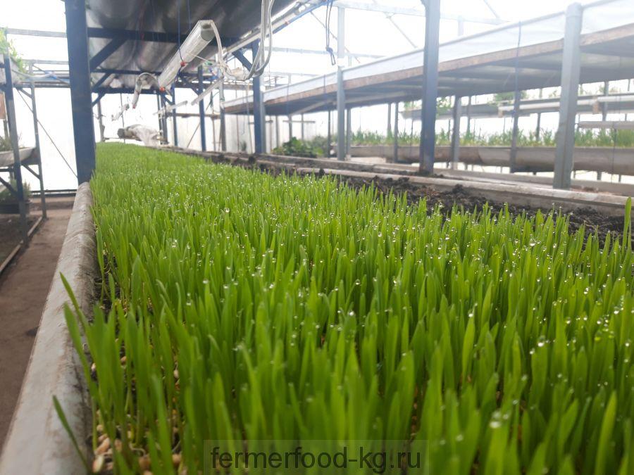 Ростки пшеницы для Витграсс