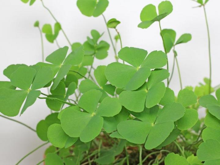 Сушни(MARSILEA MINUTA) растение- антидепрессант - саженец с ОКС