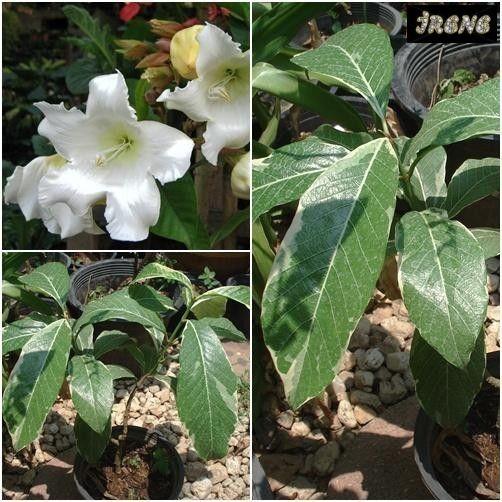 Beaumontia murtonii variegata