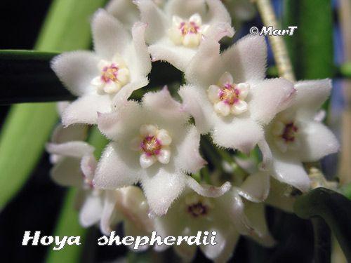 hoya shepherdii