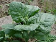 Мопачо(перуанская махорка) Nicotiana rustica
