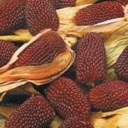 """Кукуруза  сорт  """"КЛУБНИЧКА""""   (Strawberry Corn)   15 семян"""