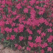 "Гвоздика сорт  ""РОЗОВЫЙ БРИЛЛИАНТ""   (Steenanjer Brilliant)   1000 семян"