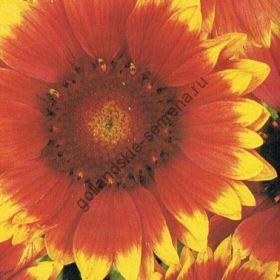 "Гайлардия  сорт ""КАКАРДЕБЛОЭМ"" (Kokardebloem)  0.75 гр. 250 семян"