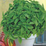 """Базилик  сорт """"БАСКУРО"""" (Basilicum Bascuro)   1.5 гр.  1200 семян"""