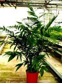 """Пальма  сорт """"КОСТАРИКАНА""""  (Chamaedorea costaricana)   10 семян"""