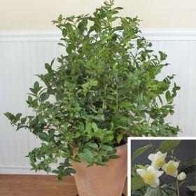 "Камелия ""КИТАЙСКАЯ"" (Camellia sinensis) 10 семян"