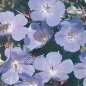 """Герань сорт """"ЛУГОВОЙ""""(Geranium pratense) 20 семян"""