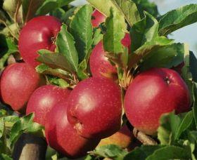 Яблоня традиционная Коваленковское (2 года)
