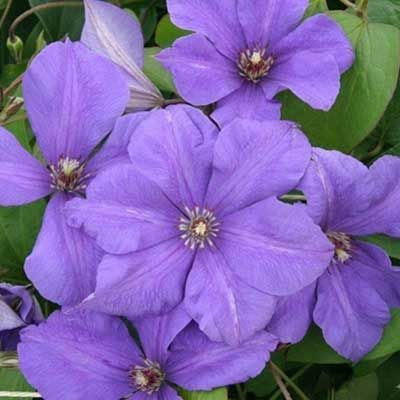 Комнатные растения - цветы Клематис Сем