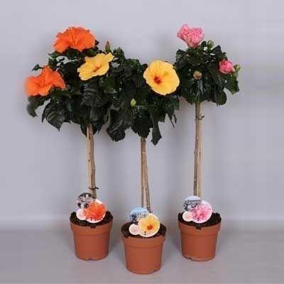 Комнатные растения - цветы Гибискус