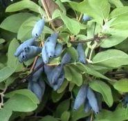 Жимолость плодовая Бархат