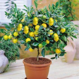 Семена карликового лимонного дерева
