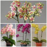Семена орхидеи, 40 шт