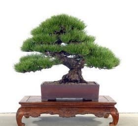 Семена японской сосны, Бонсай, 30 шт
