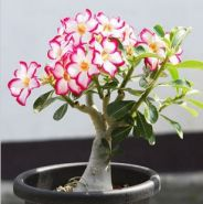 Семена Адениума тучного, смесь цветов, 10 шт.